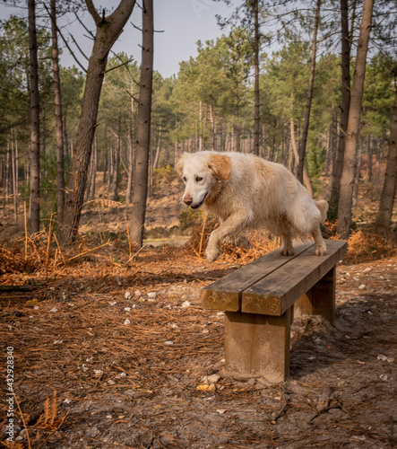 Fotografie, Obraz Pet golden retriever dog in the pine forest jumping off a bench seat