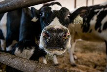 Close Up Of Curious Cow In Cowshed
