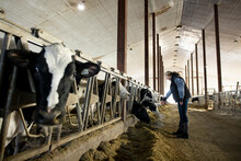 Female Farmer Checking On Cows In Cowshed