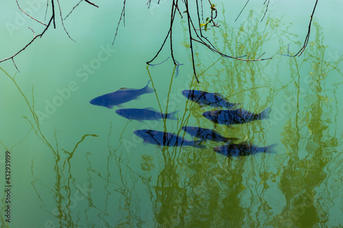 Photo Fish swim close to the surface of the water