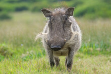 Portrait Of Warthog In The Nature
