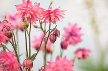 Beautiful Aquilegia Vulgaris 'Clementine Salmon-Rose' Blossoms In The Flower Garden. Selective Focus With Blurred Background.