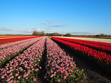 Sunny Field With Beautiful Pink Flowers And Red Tulips Growing On It Under A Bright Blue Sky
