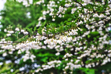 White Flowers Of Styrax Japonicus Or Japanese Snowball