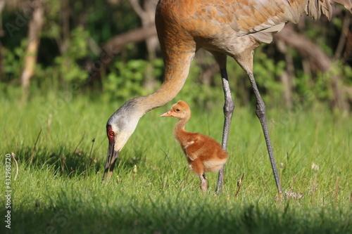 Naklejka premium Sandhill Crane Colt Baby Bird