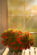 Red Petunia By A Window And The Sun Streaming Inside
