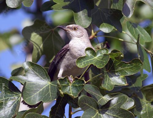 Fotografia Northern Mockingbird