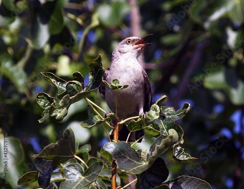 Northern Mockingbird Fototapeta