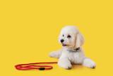 Fototapeta Kawa jest smaczna - Cute little dog with leash on color background
