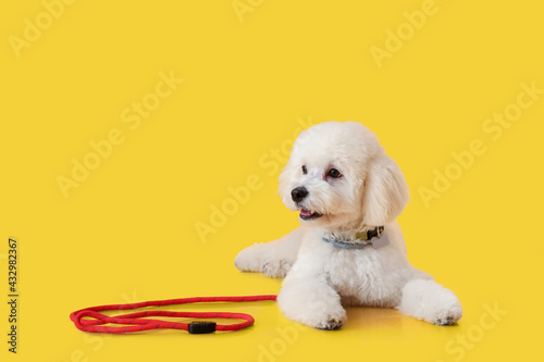 Cute little dog with leash on color background - fototapety na wymiar