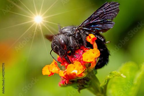 Obraz Czarna pszczoła - fototapety do salonu