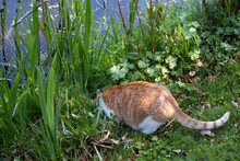 Ginger Cat Sits In The Grass Between The Weed And Iris Leaves With Its Head Down On The Water's Edge And Drinks Water From The Pond