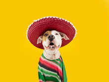 Funny Happy American Staffordshire Dog Celebrating Carnival, Hallowen Or New Year Dressed As A Mexican. Isolated On Yellow Background