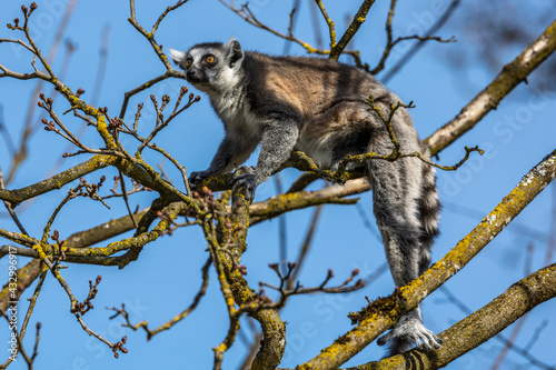 Naklejka premium The ring-tailed lemur,Lemur catta with white ringed tail is the most known lemur