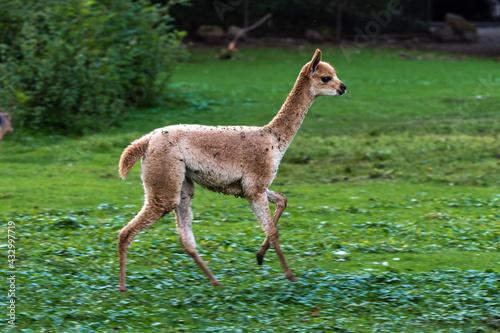 Naklejka premium Vicunas, Vicugna Vicugna, relatives of the llama
