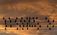 Sunset, Dramatic Sky And Silhouettes In Nature With Birds On The Wire.