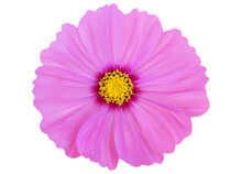 Pink Cosmos Flower Isolated On White Background With Clipping Path.