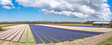 A Panoramic Photo Of Long Bulb Fields With Hyacinths In The Colors White, Blue, Cream And Violet Under A Blue Sky With Beautiful Clouds