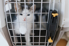 Cute Little Kitten Crying In Carrier Box. Sweet Sad Kitty Closed In Transportation Cage. Adoption.