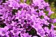 Leinwandbild Motiv Beautiful blooming bellflower in sunny May