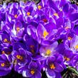 Leinwandbild Motiv Wiosna i kwiaty