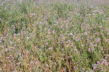 Wild Carduus Nutans (aka Musk Thistle, Nodding Thistleor Or Nodding Plumeless Thistle) In Bloom Natural Flower Background