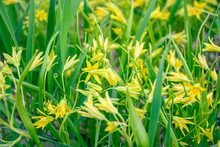 Wildflower Of Yellow Star-of-Bethlehem (Gagea Lutea) Early In The Springtime. A Dense Groundcover With Small Flowers And Long Green Leaves, Looking Like Common Grass.