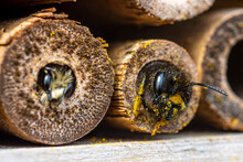 A Furry Bee (Anthophora Plumipes) Looking Out Of A Bamboo Stick Of Our Insect-hotel.  Its Neighbour, A Mason Bee (Osmia Bicornis) Is As Well Inspecting A Bamboo Stick.