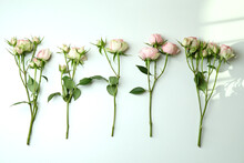 Branches Of Pink Roses On White Background