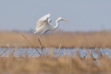White Heron During Hunting