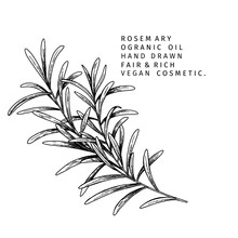 Hand Drawn Rosemary Branch. Vector Engraved Illustration. Spicy Aromatic Herb. Food Ingredient, Aromatherapy, Cooking. For Cosmetic Package Design, Medicinal Plant, Treating, Healthcare.