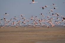 Flock Of Lesser Flamingos State Bird Of Gujarat From Wetlands Of Khadir Island, Greater Rann Of Kutch, India