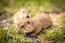 Small Ground Squirrels Are Fed In A Meadow.