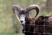 Brown-black European Mouflon Behind Wire Fence Looks Directly Into Camera, Daytime, Without People