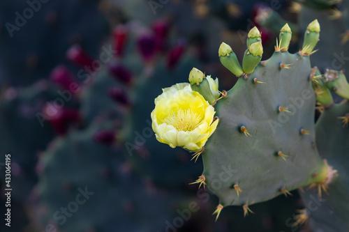 Fotografie, Obraz Flor do cacto palma.