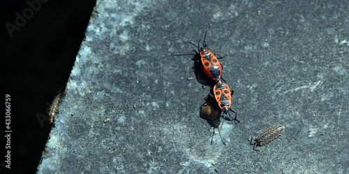Fotografiet Beetle soldier mates