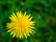 Ellow Dandelion Flower Macro Background. Spring Yellow Flowers. Floral Natural Background