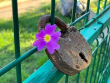 A Rusty Padlock Hangs On The Fence. There Is A Beautiful Purple Flower Inside The Castle.