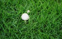 White Mushrooms On Green Lawn