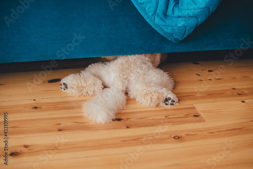 Fotografie, Obraz White poodle crawled under the sofa, only hind legs poke out