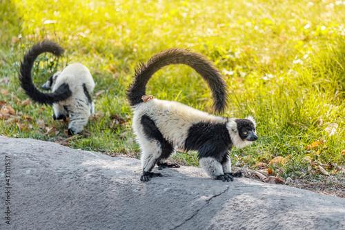Naklejka premium ruffed black and white lemur, or in Latin, Varecia variegata, is endemic to Madagascar with the threat of extinction