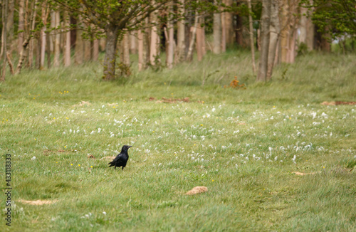 Naklejka premium a solitary crow hunting food amongst the lush spring meadow grass