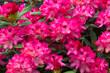 Leinwandbild Motiv Blooming pink rhododendron flowers in a garden