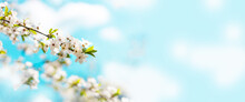 Beautiful Floral Spring Abstract Nature Background With Blooming Cherry Tree Branches On A Blue Background.