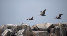 Three Brown Pelicans Flying Over Dana Point  Breakwater