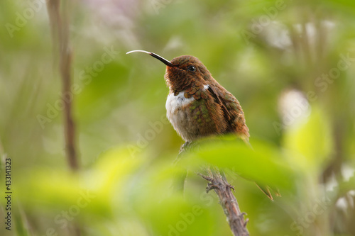 Naklejka premium Scintillant Hummingbird - Selasphorus scintilla bird endemic to Costa Rica and Panama, replaced at higher elevations by its relative the volcano hummingbird, Selasphorus flammula. Sitting in the bush