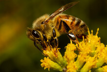 Close Up Isolated Image Of A Honey Bee Walking Over A Yellow Late Goldenrod Flower Sucking Nectar From Each Flower While Pollinating It. The Animal Is Drenched In Pollens.