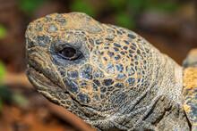 Gopher Tortoise (Gopherus Polyphemus) Closeup Of Head - Brooksville, Florida, USA