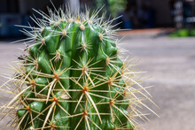 Close Up Of Golden Barrel Cactus With The Sharp Spines Growing Around It. The Golden Barrel Cactus Plant Is An Attractive And Popular Ornamental Plant For Garden.