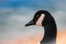 Portrait Of A Canadian Goose On A Ocean Beach